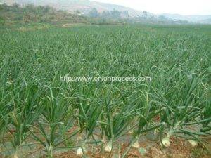 Onion-Grow-in-Land