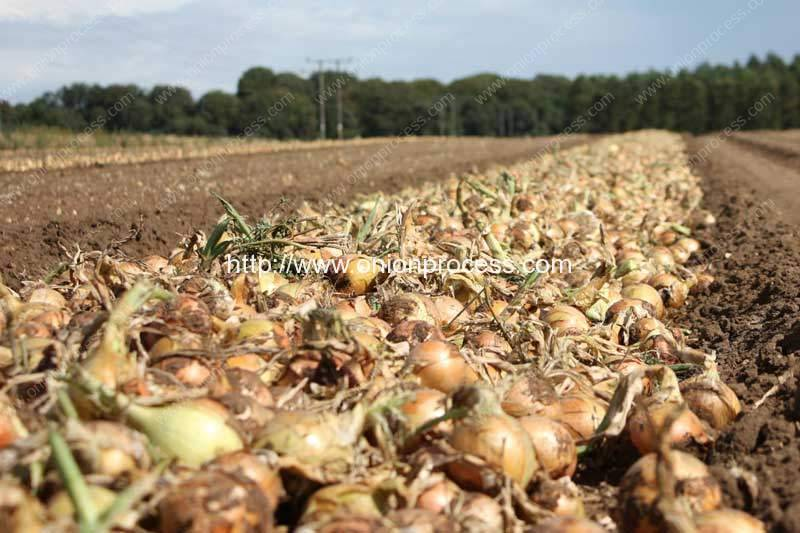 How to Processing Onion from Harvest to Final Product