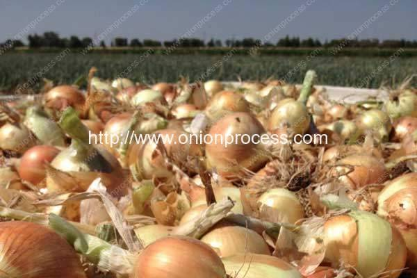 Onions Australia to host event at Hort Connections