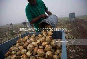 onion-harvest-in-Mexico-Market