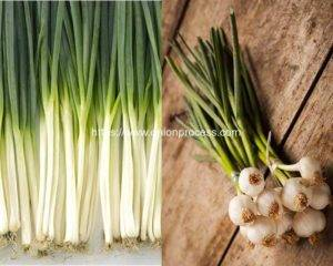 What are Difference of Scallions and Spring Onions
