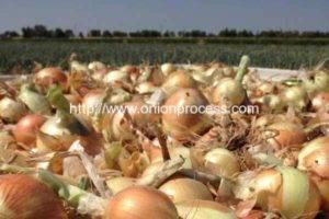 Australia-onion