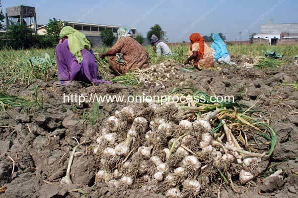 Indian-Garlic-Processing-Market-in-India