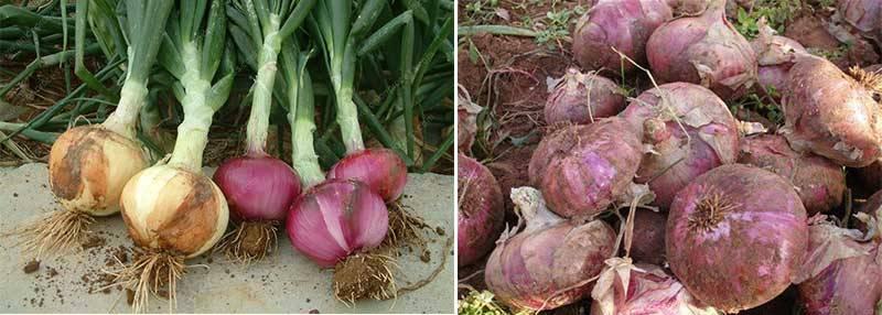 Automatic-Onion-Leaf-and-Stem-Cutting-Machine